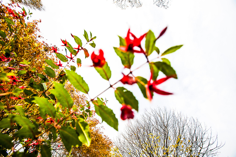 Red buds on the trees in Edinburgh's Princes Street Gardens..©Michael Schofield.