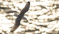 Herring gull against sparkling sea, Scotland