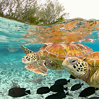 &quot;Sea Turtles&quot; - The green sea turtle, so named from the often green fat found beneath their carapace, is the only species in the genus Chelonia and is listed as endangered by the IUCN and CITES. Its range extends throughout tropical and subtropical seas worldwide including here in Bora Bora, French Polynesia. <br /> <br /> Signed, framed print is 30 x 42&quot;.  Black frame is 1 1/4&quot; wide.