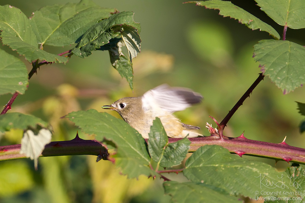 A least flycatcher (Empidonax minimus) feeds in a blackberry bush in Discovery Park, Seattle, Washington. Least flycatchers typically feed on insects, flying out from trees to catch them in flight or hovering over foliage. They also sometimes eat berries.