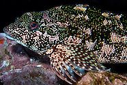 Chironemus marmoratus (Kelpfish)