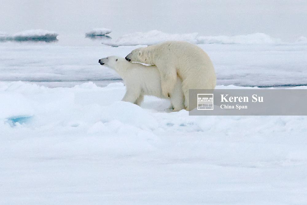 Polar Bears mating on ice, Spitsbergen, Norway