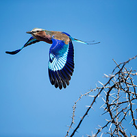 Africa, Botswana, Moremi Game Reserve, Lilac Breasted Roller (Coracias caudata) taking flight from thorny acacia bush