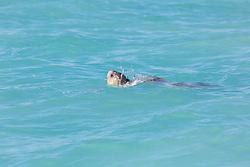 A Flatback turtle (Natator depressus) surfaces in Roebuck Bay near Broome on the Kimberley coast.