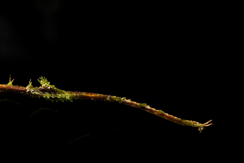 A walking stick has lichen-like projections that help it camoflage in the Choco forests of Colombia
