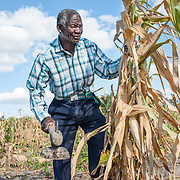 CAPTION: Timothy clears and harvests his maize crop from his garden. Maize, one of the staples of the region, has been amongst the hardest hit crops during recent droughts. The Bindagombe Irrigation Scheme will help preserve these crops during such times. LOCATION: Mawoneke Village, Chivi District, Masvingo Province, Zimbabwe. INDIVIDUAL(S) PHOTOGRAPHED: Timothy Rungano.