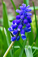 A Grape Hyacinth (Muscari) Flower in the Fraser Valley, British Columbia