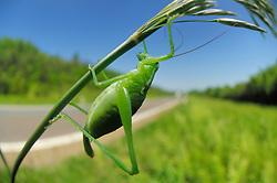 bush cricket (Isophya kraussii) | Autobahnkreutz Weinsberg -Plumpschrecke (Isophya kraussii)