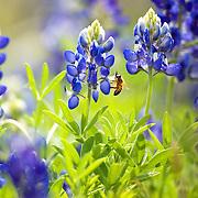 Lupinus texensis) spring, c. Texas