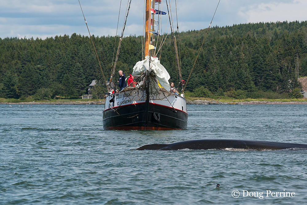 fin whale or finback whale, Balaenoptera physalus, and whale watching boat, Letete Passage, Bay of Fundy, near Green's Point, Deer Island and Campobello Island, New Brunswick, Canada
