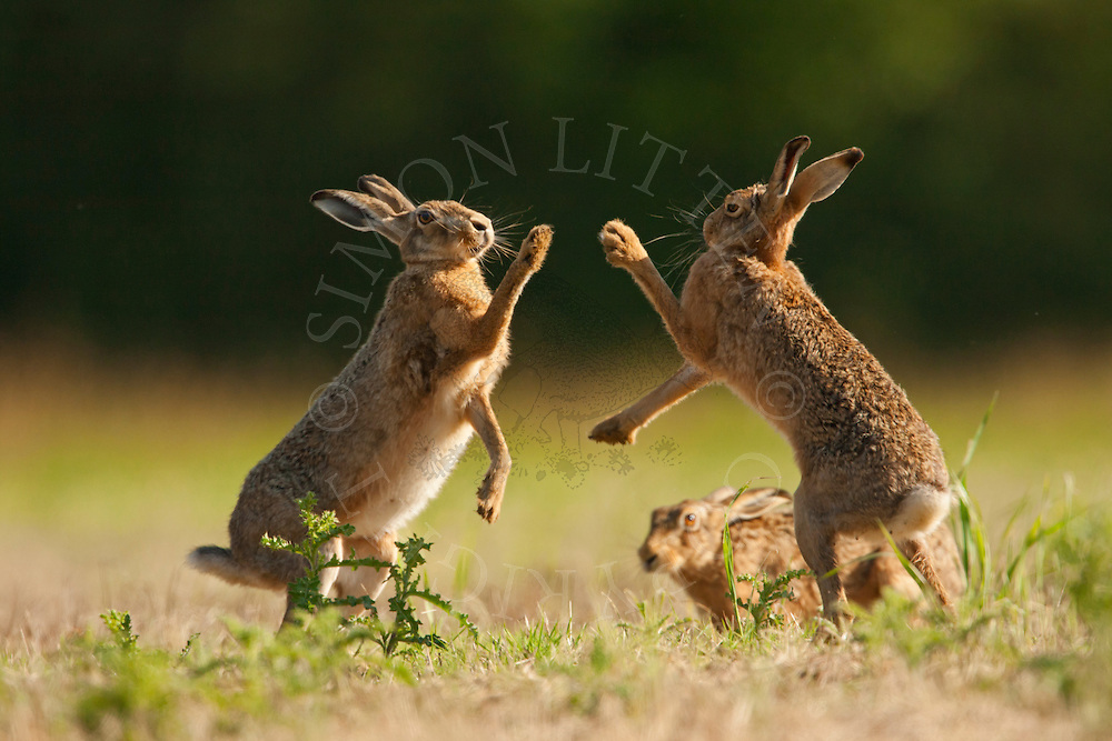 European Hare (Lepus europaeus) adults boxing in set-aside field, Norfolk, UK.
