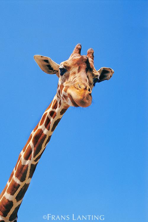 Reticulated giraffe, Giraffa camelopardalis reticulata, Kenya