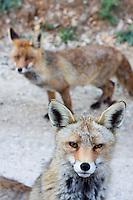 Red Fox (Vulpes vulpes), Cazorla National Park, Jaen Province, Spain