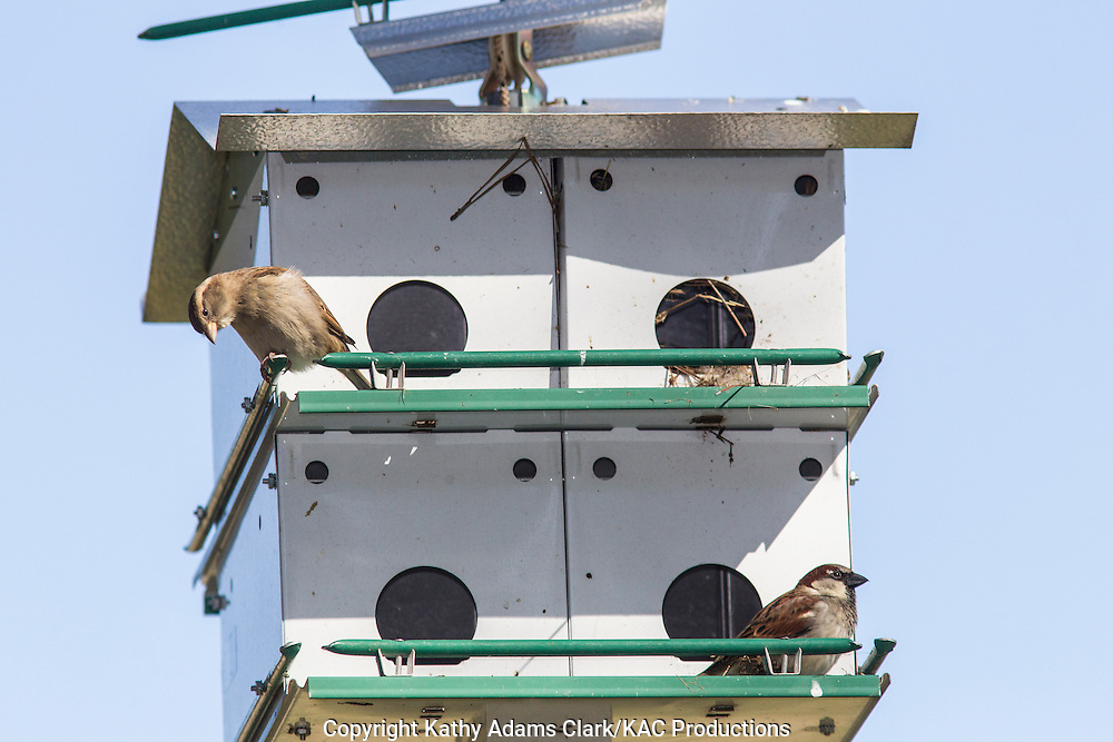 House Sparrow on Purple Martin house, in the winter, The Woodlands, Texas