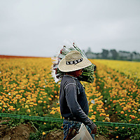 A Hispanic farm worker harvests Ranunclus flowers in a field in Carlsbad, California on Wednesday, April 24, 2013.  The Senate is trying to pass an immigration bill which will allow migrants to stay legally in the United States after Ten Years and a 500.00 fee.