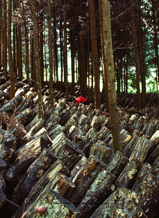 Cultivating Shiitaki mushrooms (Lentinula edodes) ( ????) in the area between Yagyu and Tawara tea area. The Shiitaki's are cultivated on the dead wood of the shii tree Castanopsis cuspidata. Shiitaki's have been cultivated in Japan for over 1,000 years.  Kyoto, Japan