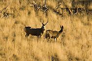 Mule deer (Odocoileus hemionus) buck and doe west of Livingston Montana<br /> PROPERTY RELEASED