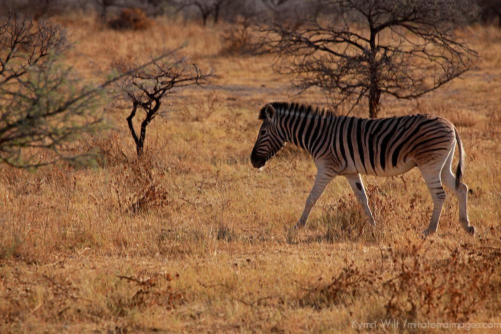 Africa, Namibia, Etosha. Burchell's Zebra in Etosha National Park.