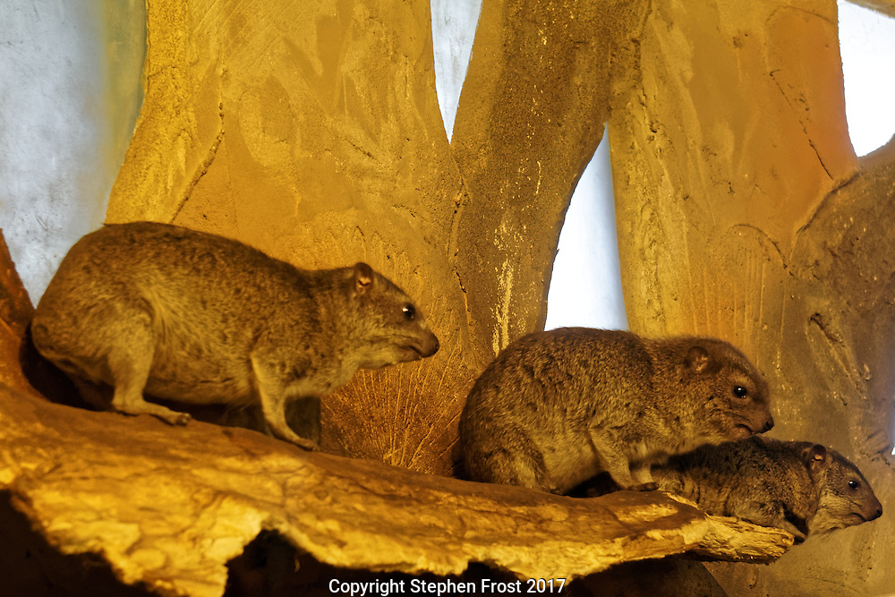 Three rock hyraxes, also called rock badger and Cape hyrax, and commonly referred to in South African English as the dassie.