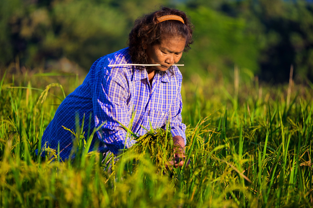 Hand Harvesting Green Rice in Nakhon Nayok, Thailand