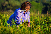 Hand Harvesting Green Rice in Nakhon Nayok, Thailand