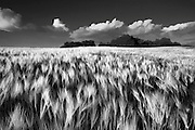 Black and white photographic art of wheat field and clouds in Paso Robles
