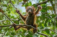 Bornean Orangutan - &quot;wurmbii&quot; subspecies<br /> (Pongo pygmaeus wurmbii)<br /> <br /> Cabang Panti Research Station<br /> Gunung Palung National Park<br /> West Kalimantan, Indonesia<br /> Borneo Island<br /> <br /> Female = Beth<br /> Infant = Benny