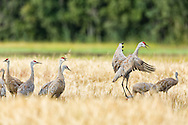 Sandhill Crane (Grus canadensis) jumps and vocalizes while foraging at Creamer's Field Migratory Waterfowl Refuge in Fairbanks in Interior Alaska. Summer. Afternoon.