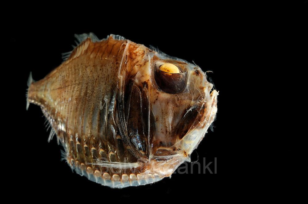 Giant Hatchetfish (Argyropelecus gigas) Picture was taken in cooperation with the Zoological Museum University of Hamburg | Großer Beilfisch (Argyropelecus gigas) Das Bild entstand in Zusammenarbeit mit dem Zoologischen Museum Hamburg (ZMH); ZMH 105595 (ISH 113-1968); 17.01.1968; 13°52'W, 37°8'N; 2 Ex.; Trawl survey Walther Herwig, 4-III/68, CMBT 1600; 580 m