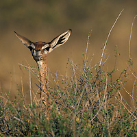 Africa, Kenya, Samburu National Reserve, Adult Female Gerenuk (Litrocranius walleri) gazelle in tall grass in late afternoon light