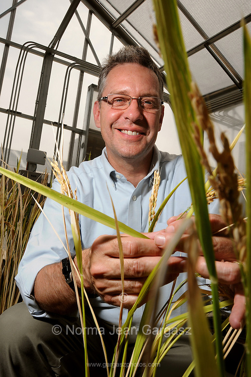 Dr. Rod Wing of the Arizona Genomics Institute with wild rice and hybrids of cross-cultivated wild rice at the 6th Street Garage Greenhouse at the University of Arizona, Tucson, Arizona, USA.