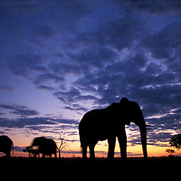 Botswana, Chobe National Park, Elephants (Loxodonta africana) silhouetted at dusk in Savuti Marsh