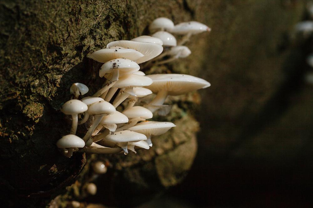 Porseleinzwam, Oudemansiella mucida