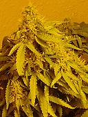 Cannabis becomes Class B drug