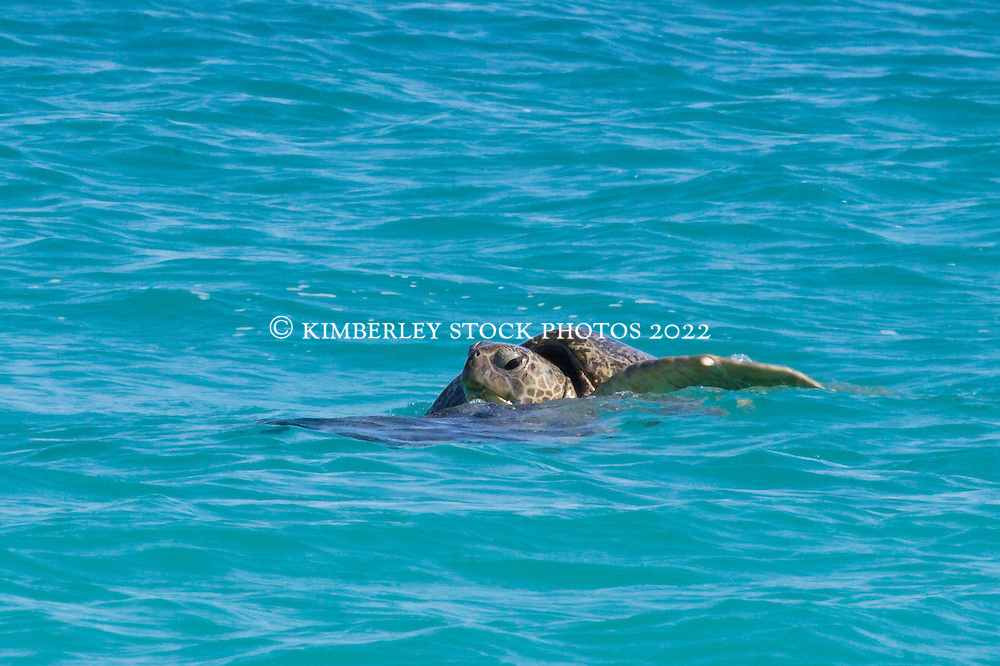 A pair of Green Turtles (Chelonia mydas) mating in the waters off West Island, one of the Lacepede Islands north of Broome.