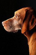 SHOT 1/30/12 11:11:21 AM - Tanner, a male seven year-old Vizsla, stares out the front door while fixated on a squirrel in the front yard of his Denver, Co. home. .(Photo by Marc Piscotty / © 2012)