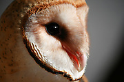 Closeup of a Barn Owl's face and head. Side view