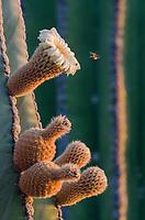 Cardon Cacti flowert and bee on Isla San Esteban in the Gulf of California in Baja California Sur, Mexico.