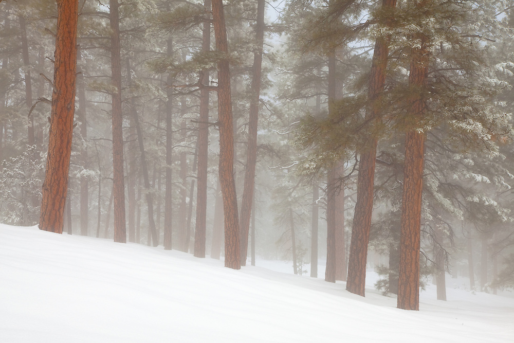 A late winter snow blankets the forest on the South Rim of Grand Canyon National Park in Arizona.