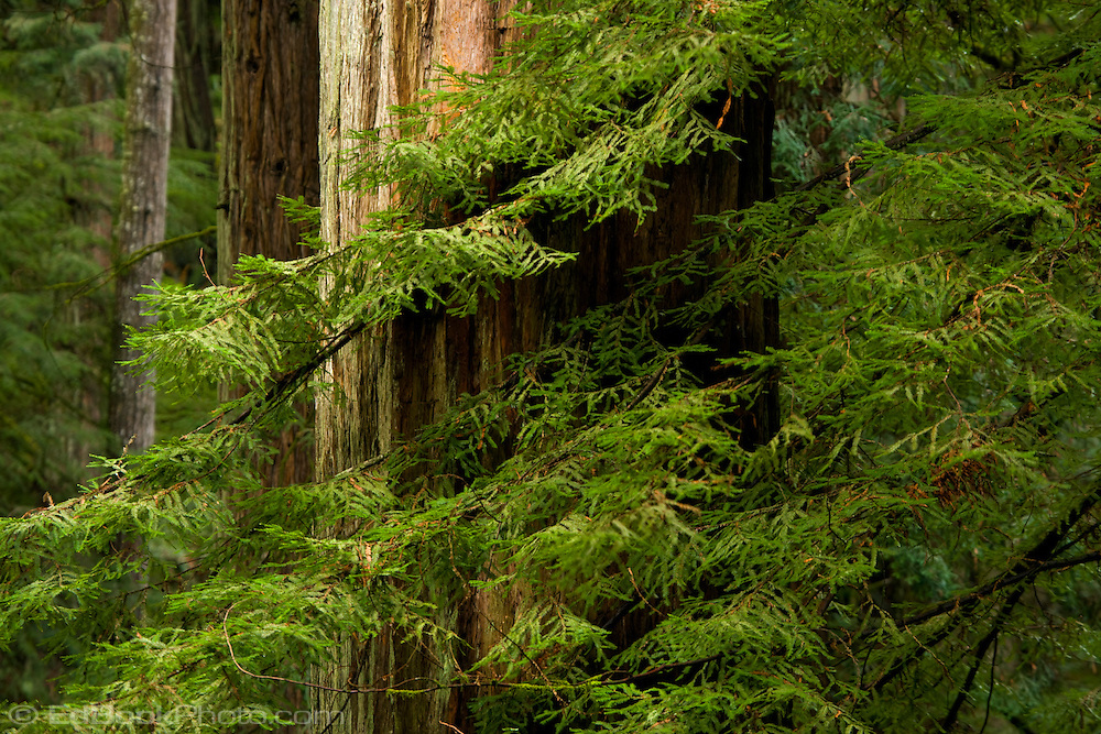 A Coast Redwood (Sequoia sempervirens) branch hides a mature trunk  in the Siskiyou National Forest near the northern California coast