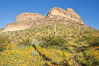 Arizona poppies in bloom and the Ajp Mountains in Organ Pipe Cactus National Monument