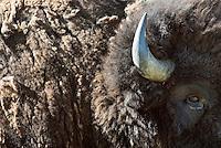 American bison on Antelope Flats, Grand Teton National Park, Wyoming.