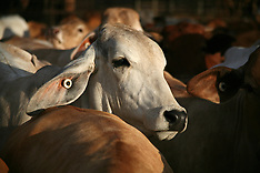 Cattle - Kimberley - Images
