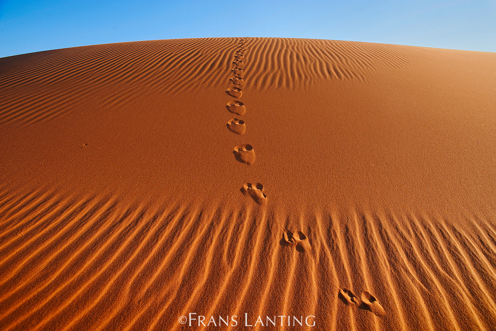 Cape fox tracks, Vulpes chama, Namib-Naukluft National Park, Namibia