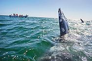 Gray whales approach tourist boats in Laguna San Ignacio, Baja California Sur, Mexico.