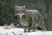 Scottish wildcat (Felis sylvestris) in heavy snowfall, Cairngorms National Park, Scotland
