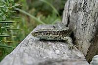 Lizard....