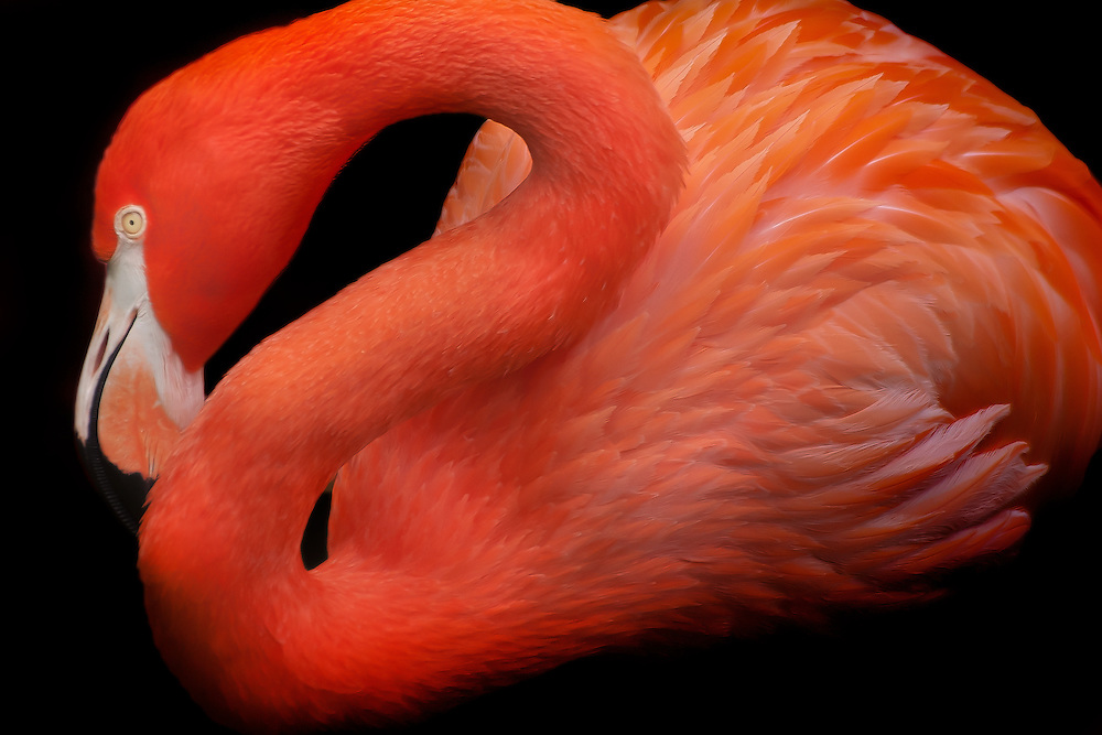 Close-up of an American Flamingo
