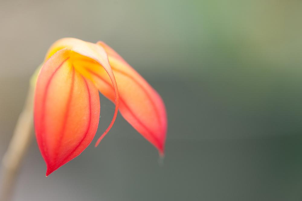 Masdevalia, Orchid, Panama