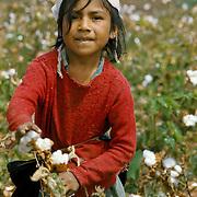 Child work: Girl picking cotton in valley of Chira River in northern Peru.